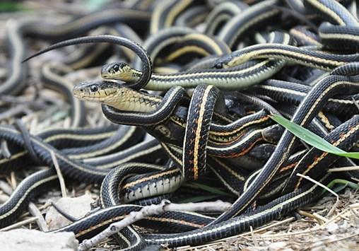 Mating_ball_of_garter_snakes
