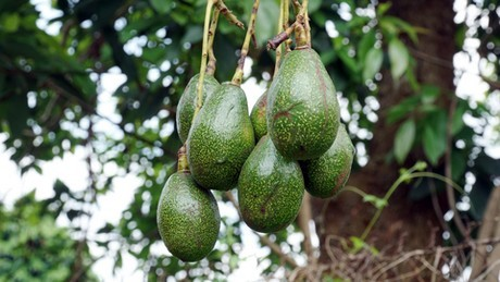 Researchers Look at New Avocado Variety That Could Be Grown in the Valley