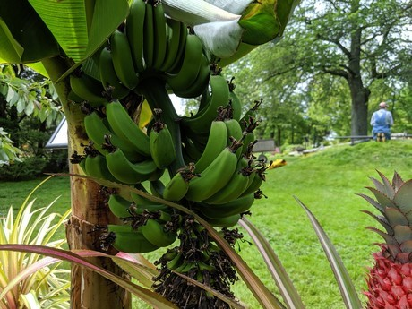 Canada's Halifax Botanical Garden Manages to Grow Tropical Fruits