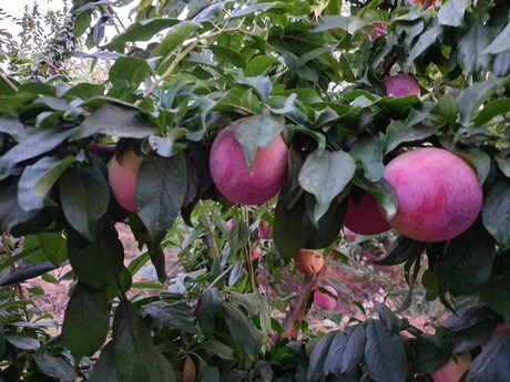 """Spain: """"The Fruit Campaign in Extremadura Is Becoming a Disaster"""""""