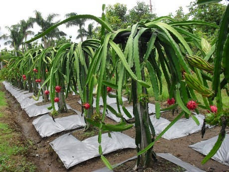 The Dominican Republic Bets on Pitahaya Production