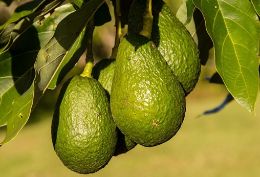 Advances in Water Management for Avocado Cultivation in Spain's Subtropical Coast