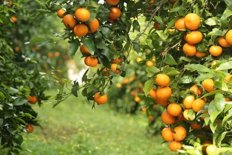 Man in Spain Arrested for Illegal Cultivation of Orri Mandarins
