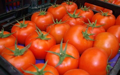 Moroccan Tomato Sales to the EU Exceed the Contingent Volume Allowed