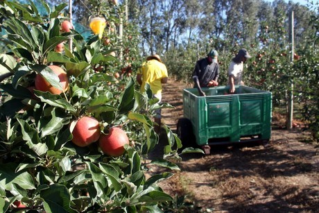 Start of Royal Gala Harvest in Girona With 11% More Volume