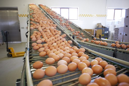 Eggs on a conveyor belt in a food processing plant.