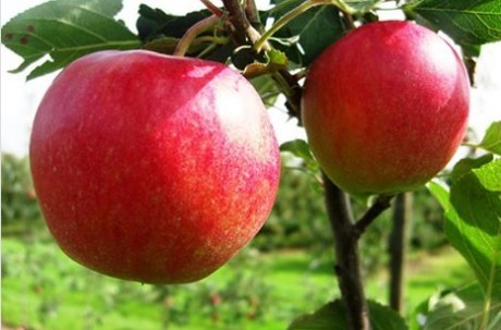 Swiss Apple Sales Are Problematic